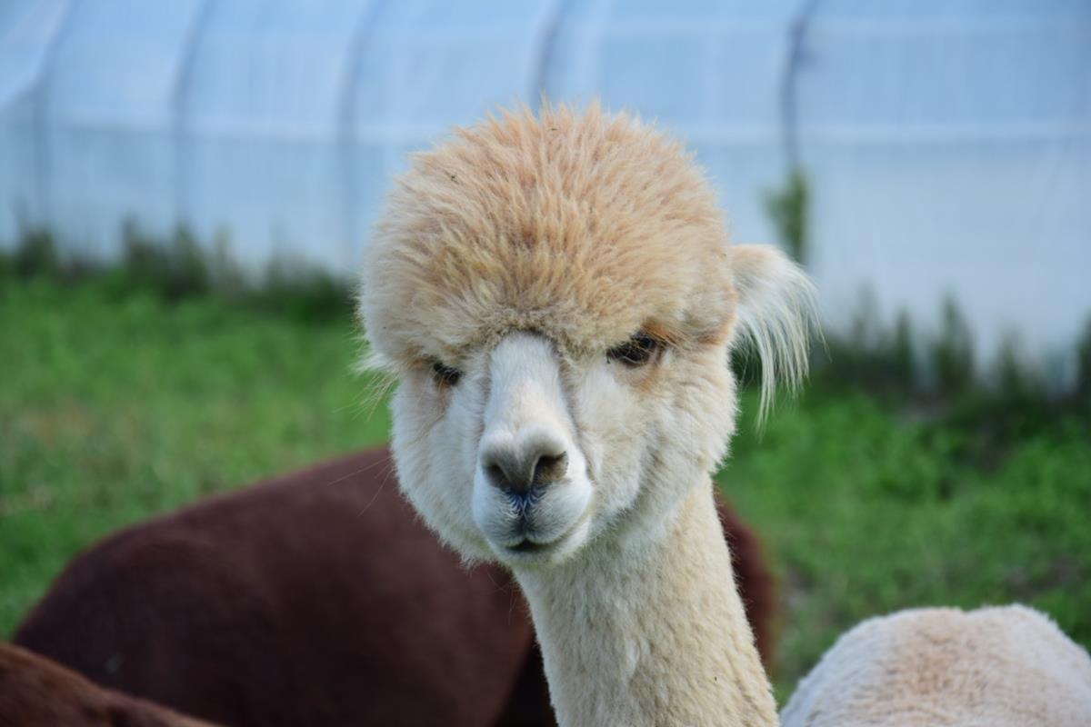 alpaka przytul alpakę suchorzew - Przytul Alpakę - Suchorzew