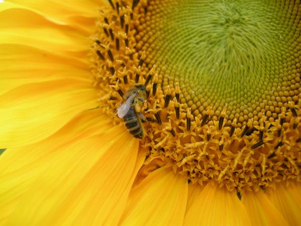 pszczoła słonecznik - TomFoto