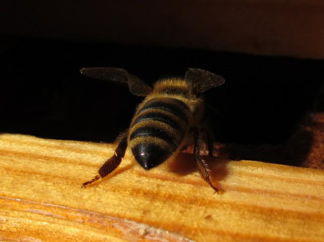 retro show Szreniawa 6 pszczoła - TomFoto