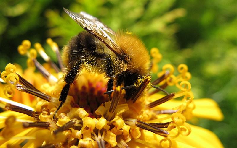 pszczoła miodna zbiera - TomFoto